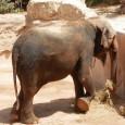 La fallera de honor más gorda de la Falla L'Antiga de Campanar (no es por ofender, es así), la elefanta Petita, celebra hoy su cumpleaños en su casa del parque temático Terra Natura de Benidorm. Por ello, han preparado una fiesta a lo Bollywood en su honor.